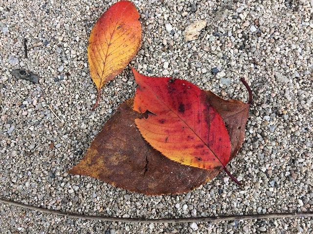 秋も深まり公園できれいな落葉を発見しました(お店の近所:広島市南区松川公園)